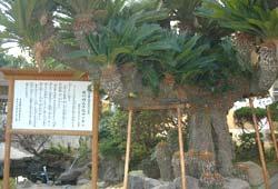 城川内小学校と長光寺のソテツ